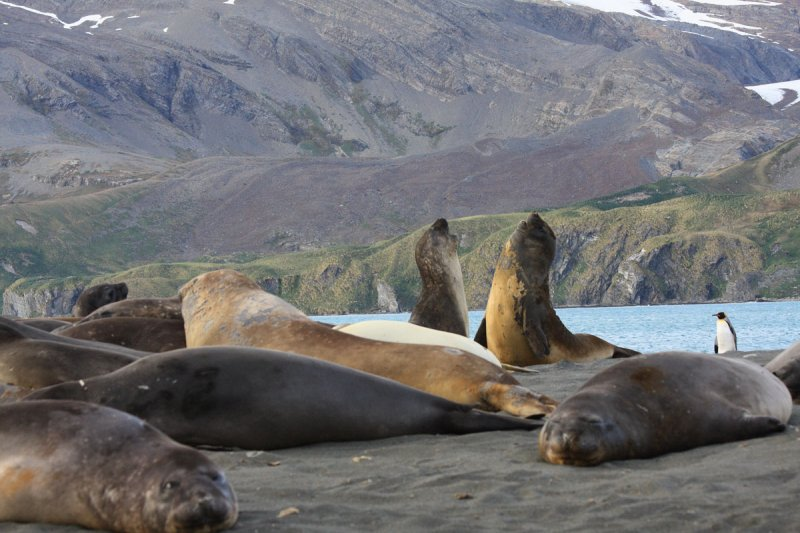 Elephant Seals, young males