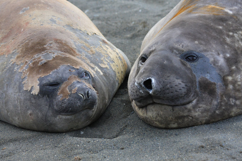Moulting Elephant Seals