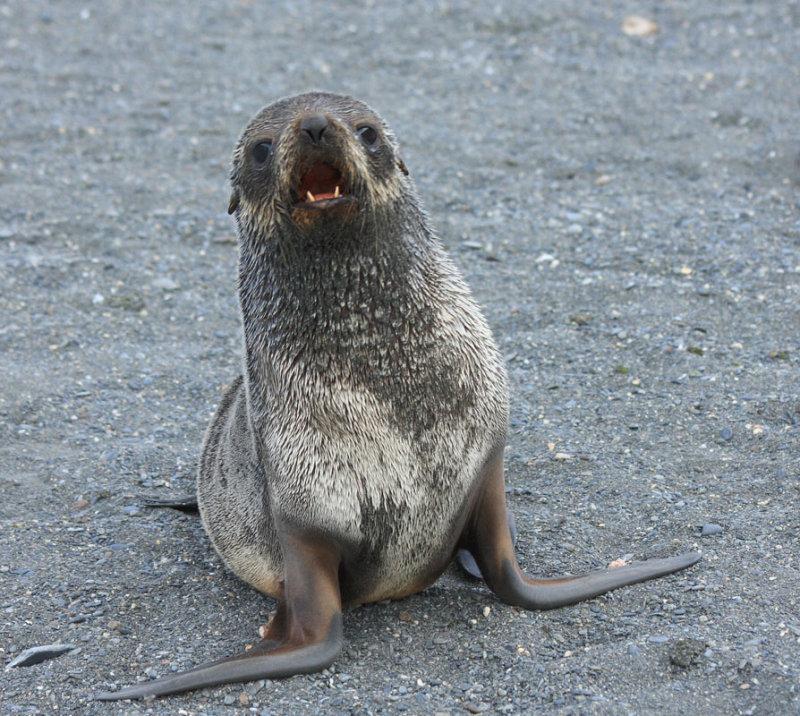 Agressive Fur Seal pup