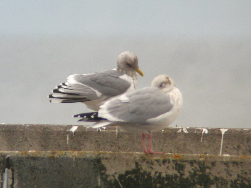 Thayers Gull - Adult