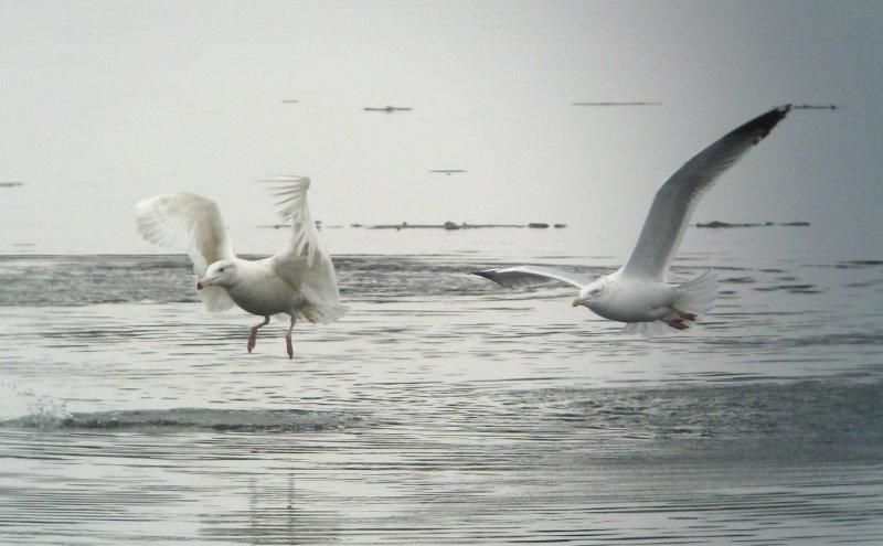 Juvenile Glaucous Gull