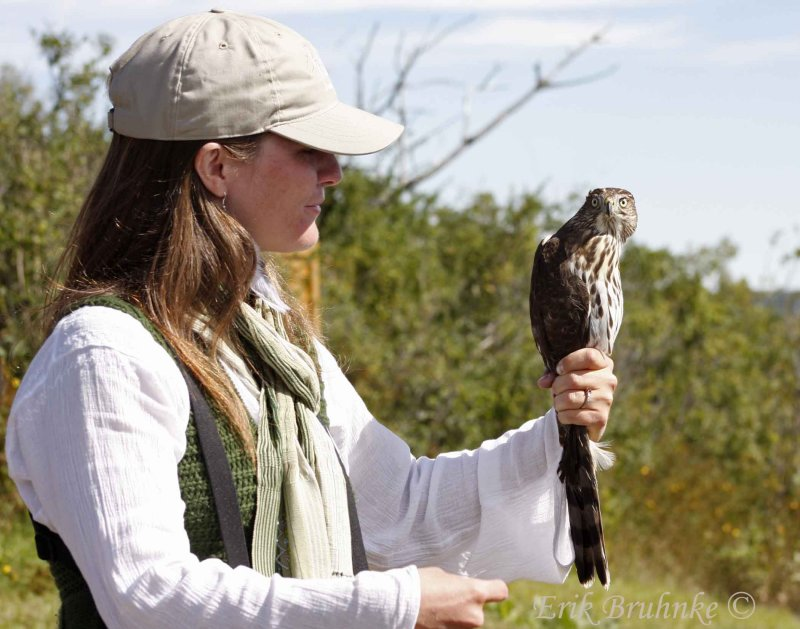 Brittnie with juvenile Coopers Hawk