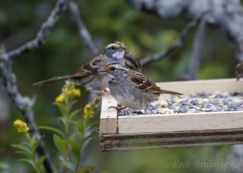 White-throated Sparrow (notice orange lores)