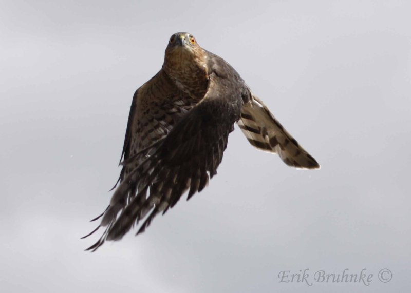 Adult Sharp-shinned Hawk Release