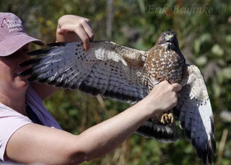 Debbie with an adult Broad-winged Hawk