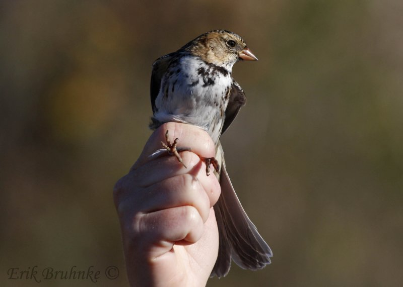 Harriss Sparrow in the hand