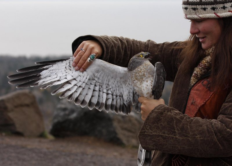 Brittnie with 2nd-year male Northern Harrier (Gray Ghost)