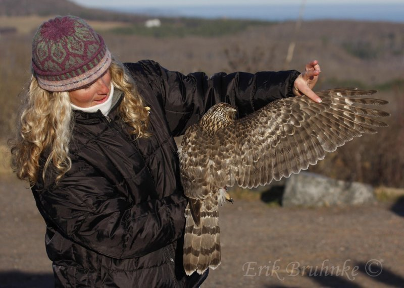 Debbie holding the juvenile Northern Goshawk