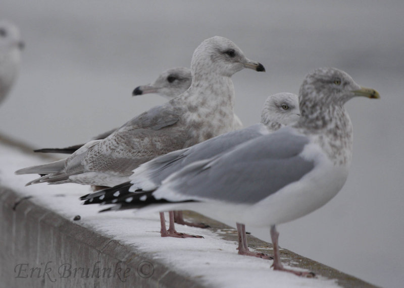 Iceland Gull x Thayers Gull probable hybrid
