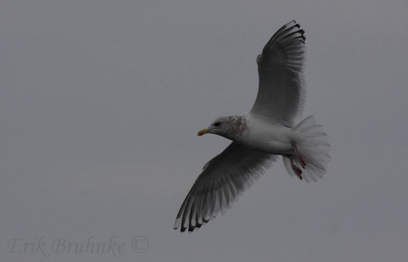 Adult Thayers Gull