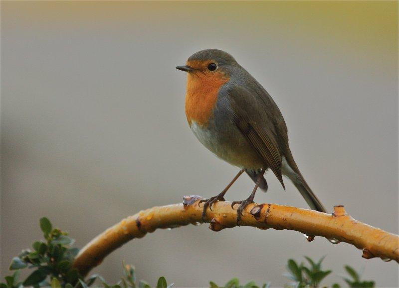 rain & robin in our garden