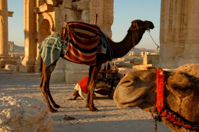 Camels - Palmyra