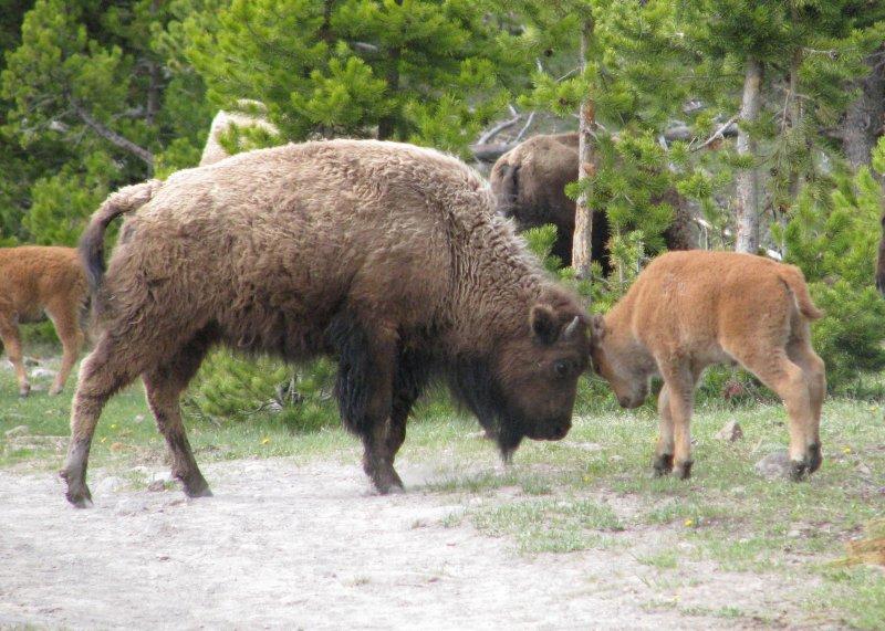 Buffalo, Yellowstone, Wyoming