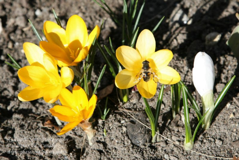 Yellow spring crocus with a bee