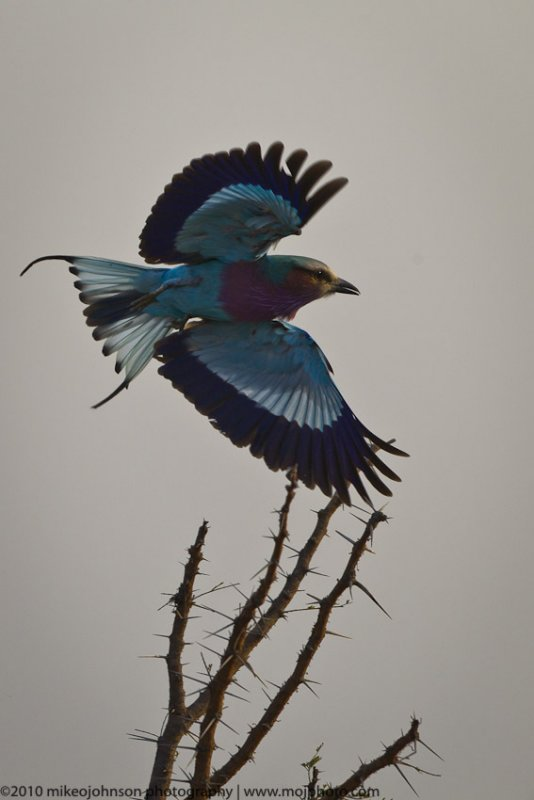 046-Lilac Breasted Roller in Flight