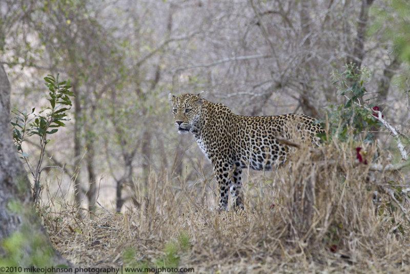 051-Leopard in Bush