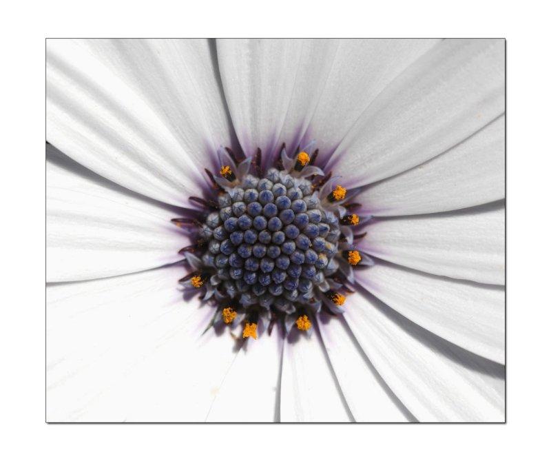 Macro white Daisy.jpg