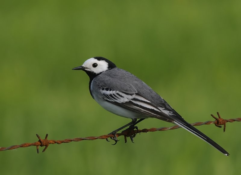 Witte kwikstaart -Pied Wagtail