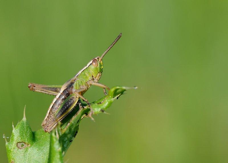 Krasser-Meadow grasshopper