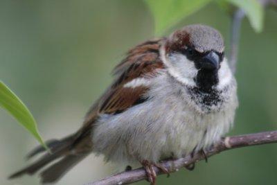 Spatz / sparrow