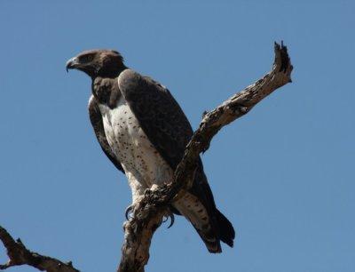 Kampfadler / martial eagle