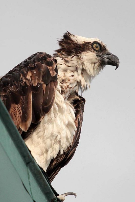 Osprey with contacts-1146