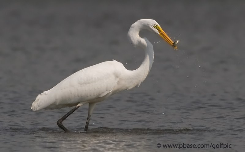 Great Egret will need to catch a lot of these