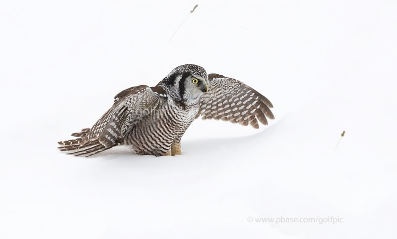 Northern Hawk Owl in snow