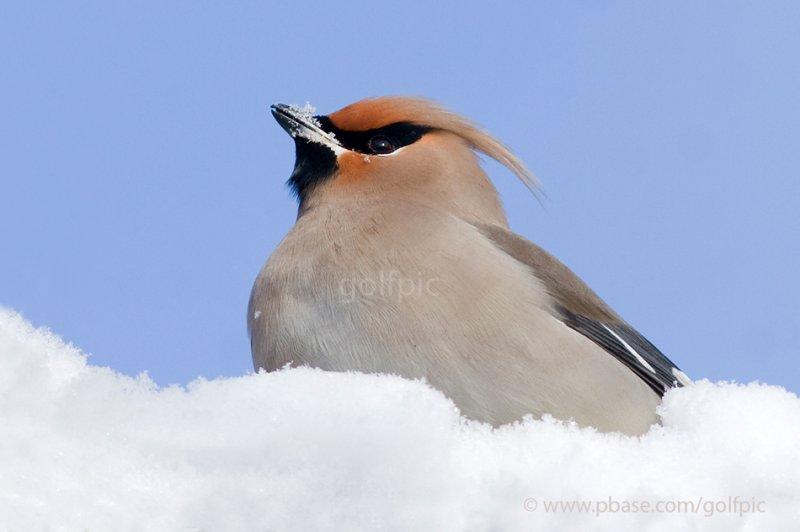 Bohemian Waxwing eating snow