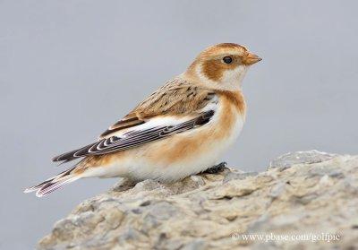Snow Bunting (basic plumage)