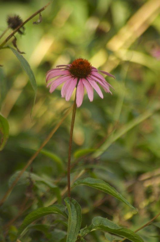 Echinacea !