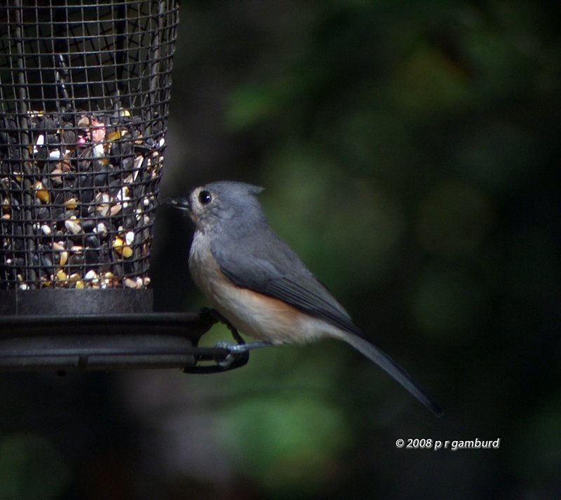Tufted Titmouse DSCF2331c.jpg
