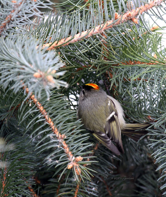 Golden-crowned Kinglet IMG_0163.jpg