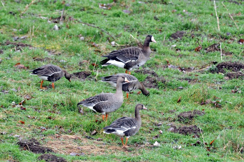 Taiga Subspecies White-Fronted Goose