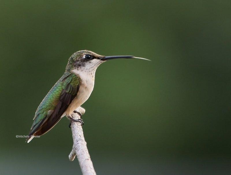 8-4-09 juvie male ruby hummingbird 8980 .jpg