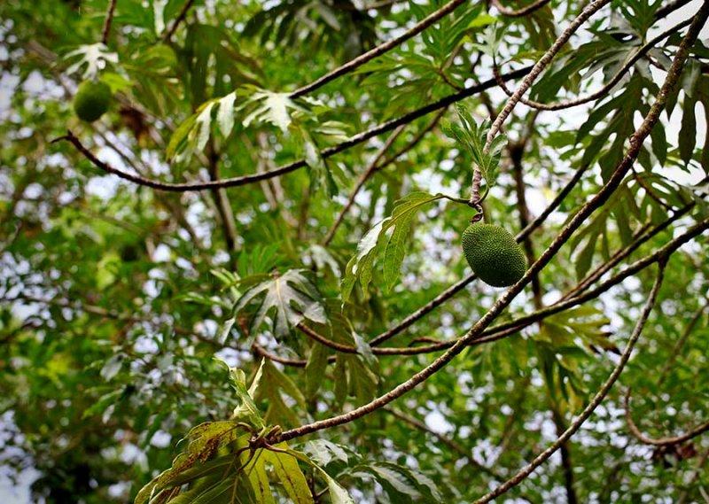 Breadfruit IMG_3844.jpg