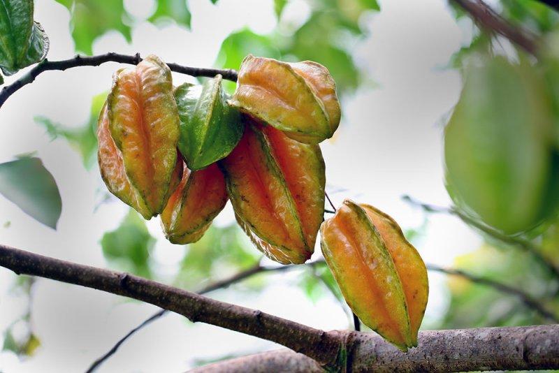 2. Star fruit. IMG_1124.jpg