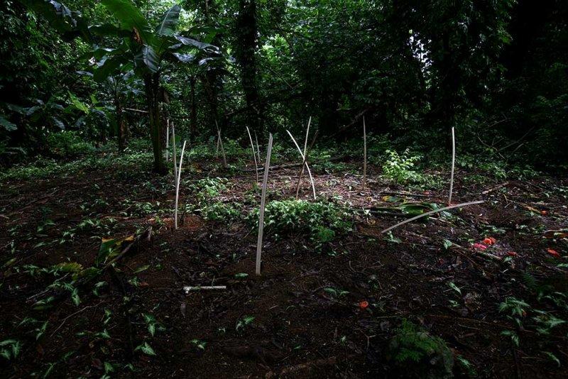 Growing kava. Piper methysticum (Piperaceae)  IMG_1598.jpg