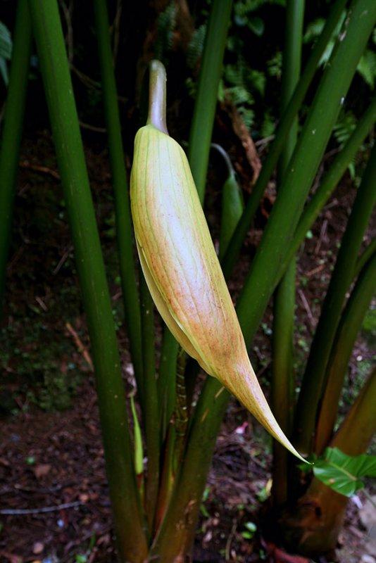Giant swamp taro flower IMG_1746.jpg