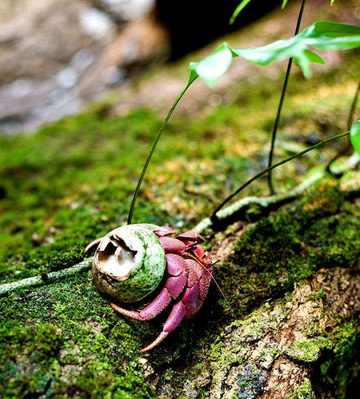 A very young coconut crab still using a off cast shell for a home. L1009447.jpg