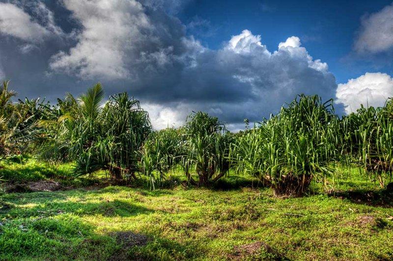 3. Area where Pandanus are being grown. IMG_9136_7_8.jpg