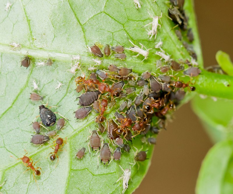 Aphids with ants that harvest sweet fluid from them. IMG_5227.jpg