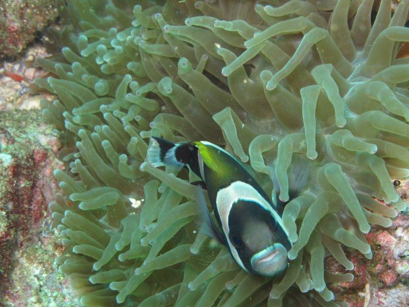 Widestriped anenome fish