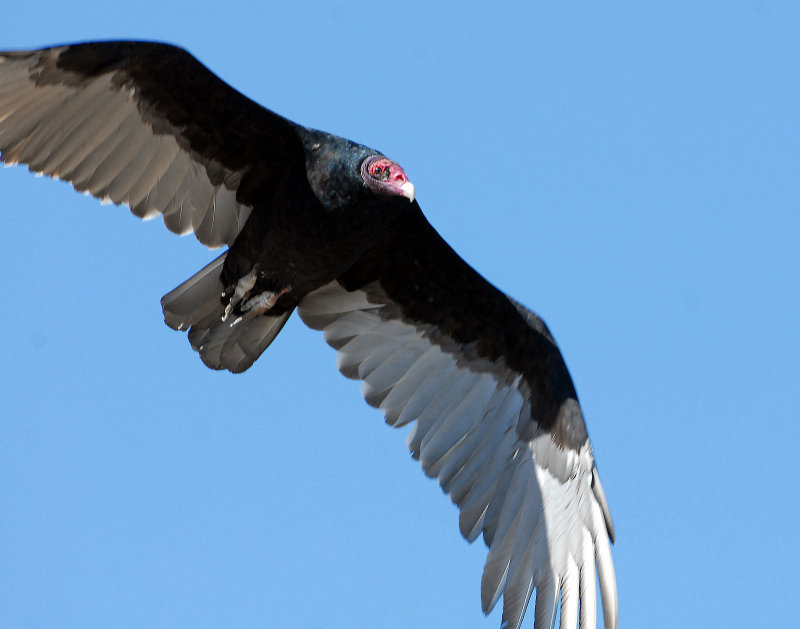 Vulture Turkey D-008.jpg