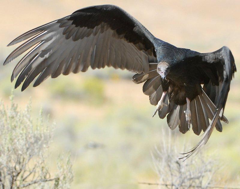 Vulture Turkey D-014.jpg