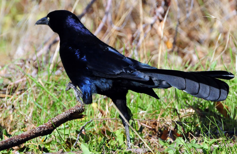 Grackle, Great-tailed  D-010.jpg