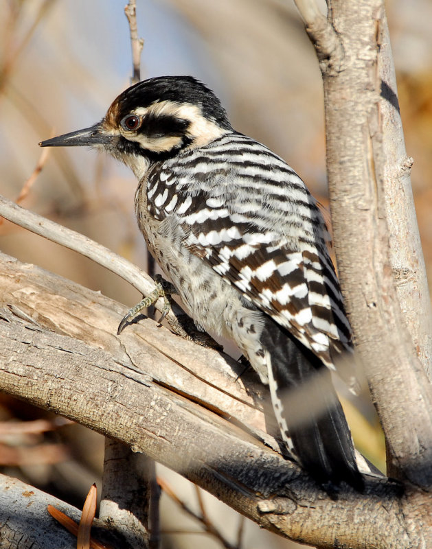 Woodpecker Ladder-backed female D-009.jpg