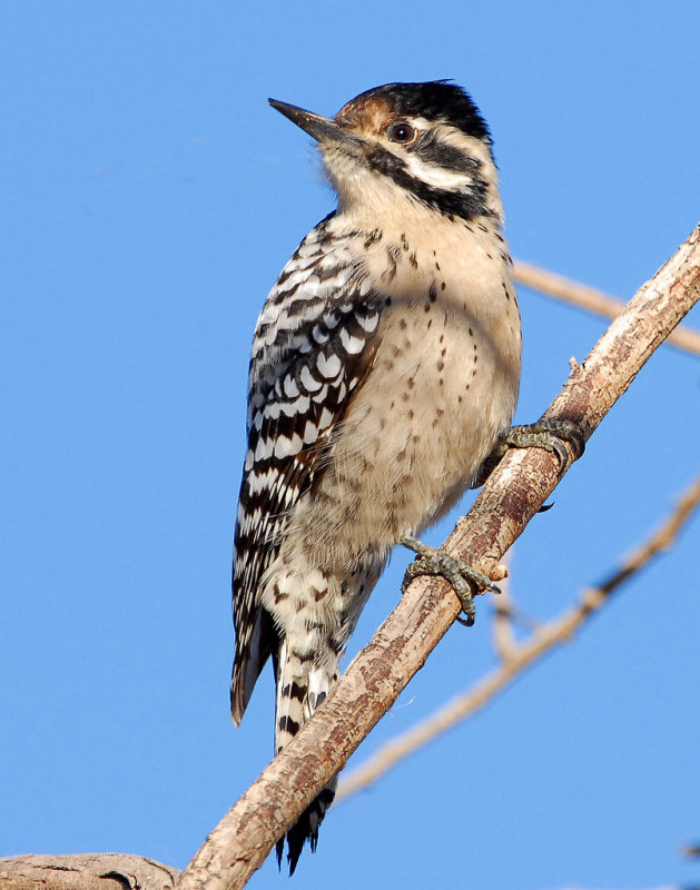 Woodpecker Ladder-backed  female    D-006.jpg