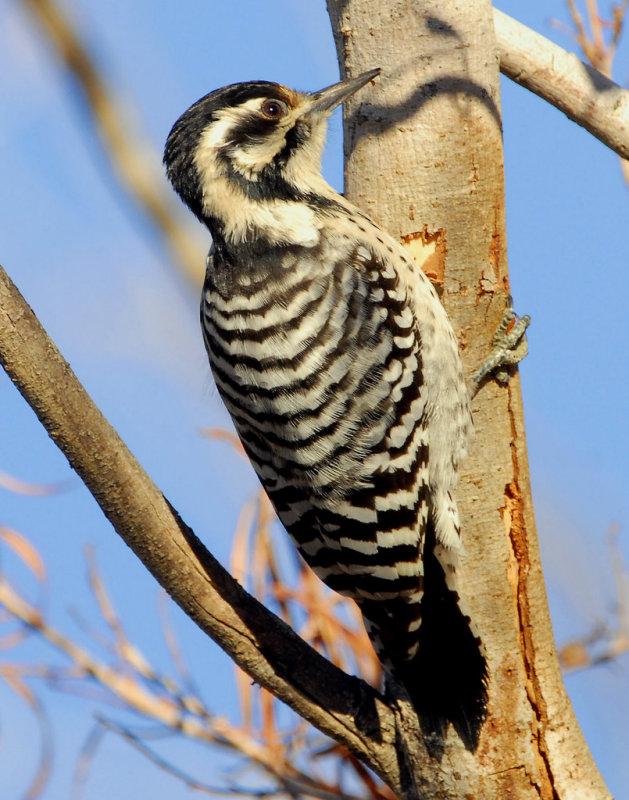 Woodpecker Ladder-backed female    D-001.jpg