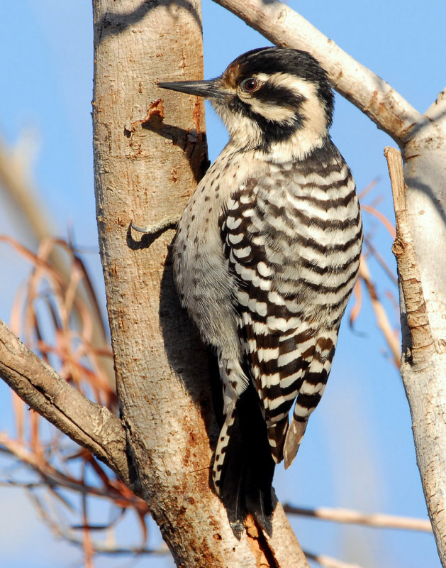 Woodpecker Ladder-backed female    D-002.jpg